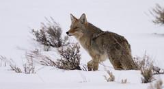 IMG_5823 Coyote (cmsheehyjr) Tags: cmsheehy colemansheehy nature wildlife coyote grandtetonnationalpark antelopeflats jacksonhole wyoming grosventre