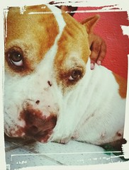 Animal Themes Domestic Animals Mammal Pets Dog One Animal Looking At Camera Indoors  Close-up Pit Bull Terrier No People Portrait Day (gabriel_nebarackk) Tags: animalthemes domesticanimals mammal pets dog oneanimal lookingatcamera indoors closeup pitbullterrier nopeople portrait day