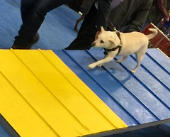 Pet Expo (EDWW day_dae (esteemedhelga)™) Tags: animals canine dog fido dullesexpo petexpo doggy bone esteemedhelga dayde edww pets bark meow husky pug labrador beagle germanshepherd bulldog poodle pitbull shiptaudobermanpinscherboxerterriergreatdanemaltesepomeraninstbernardgreyhoundaustralianshepherdspanielretrieverfrenchbulldog pointer fries papillon corgi