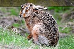 Hare today.......... (pstone646) Tags: hare mammal animal nature wildlife closeup fauna elmley kent outdoors ngc