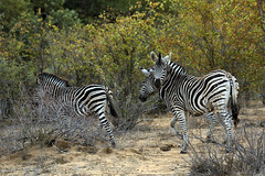 I have been spotted (crafty1tutu (Ann)) Tags: travel holiday 2016 southafrica africa african animal zebra herd motswariprivategamereserve wild free inthewild roamingfree crafty1tutu canon7dmkii ef100400mmf4556lisiiusm anncameron mammal naturethroughthelens naturescarousel