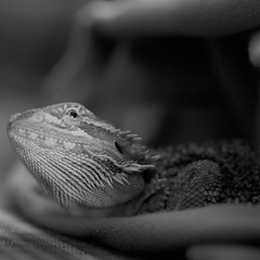 DSC_0107 (2) (jouno53) Tags: f18 nikon bearded dragon pets macro closeup lizard newbie