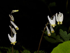 Dutchman's_breeches_00036-2 (McConnell Springs) Tags: mcconnellspringspark mcconnellsprings flowers dutchmansbreeches lexingtonparksrecreation lexingtonky l whiteflowers