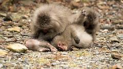 Macaques de Yakushima (emmrichard) Tags: animaux mammifères natureetpaysage macaquejaponais singe yakushima kyushu japon