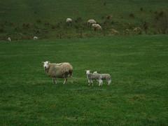Sheep Family 3 (StaircaseInTheDark) Tags: yorkshire england northernengland britain greatbritain unitedkingdom uk outdoors walking countryside nature rural sheep lambs animals animalfamily babyanimal spring northyorkshire