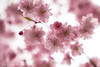 Cheery Cherry Blossoms...another Triptych I (Stephanie Sinclair) Tags: cherryblossoms blossoms bokeh pink spring springtime pnw canon sigma youmakemesmile