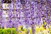 DSC_1654 (sayo-tsu) Tags: 藤 wisteria 牛島のフジ 春日部市 埼玉県 kasukabe saitama 特別天然記念物