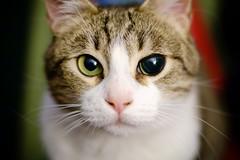 Green (Brînzei) Tags: bucurești fujifilmxpro1 fujinonxf35mmf14 op animals bokeh cats eyes ★ staring