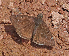 CAD0009065a (jerryoldenettel) Tags: 170411 2017 blackcanyon duskywing erynnis erynnispropertius hesperiidae nm propertiusduskywing pyrginae socorroco butterfly insect skipper