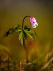 Solitude (CecilieSonstebyPhotography) Tags: anemonenemorosa canon canon5dmarkiii ef100mmf28lmacroisusm markiii anemone closeup flower flowers grass green hvitveis hvo leaves macro moss petal petals pink smellfox thimbleweed windflower woodanemone ngc npc