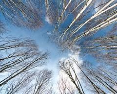 Kiss The Sky (sasastro) Tags: trees wideangle silverbirch blueskies sigma816mm pentaxk5iis