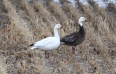 Snow Geese (robenglish64) Tags: snowgeese