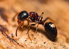 My First Time Shooted Ant (mikhailkorzhalov) Tags: canon macro reversemacro nature wildlife animal animals insects insect outdoors ant ants extrememacro manualfocus manual macrorings macrodreams canon1855