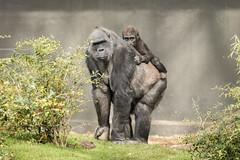 2017-03-26-13h00m55.BL7R0767 (A.J. Haverkamp) Tags: canonef100400mmf4556lisiiusmlens shae shindy amsterdam noordholland netherlands zoo dierentuin httpwwwartisnl artis thenetherlands gorilla sindy pobrotterdamthenetherlands dob03061985 pobamsterdamthenetherlands dob21012016 nl