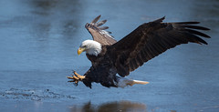 IMG_5676 Bald Eagle (Wallace River) Tags: baldeagleonice icefishing