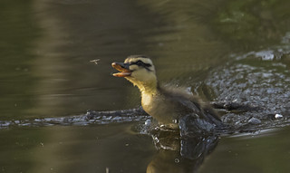 Duckling catching flie