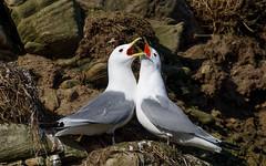 Kittiwake pair calling (Steve Balcombe) Tags: bird gull kittiwake rissa tridactyla white grey red yellow cliff coast colony nest pair seahouses northumberland england uk