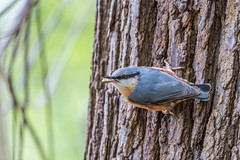 Nuthatch (dave_poth) Tags: