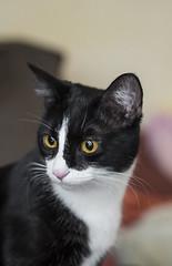 Venus (lauriepetsitterparis) Tags: chatte chatonne chaton cute mignon miaou petsitter catsitter