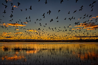 Sunrise Snow Geese Flyout