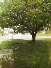 16/52 (yosmama151) Tags: 52weeks 52weekproject rain rainyday spring springrain springshowers iphone6s iphone iphoneography iphoneographer oklahomacity oklahoma mextures mexturesapp tree yard