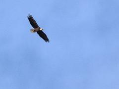 Bald Eagle distant circling to S 20170421 (Kenneth Cole Schneider) Tags: florida miramar westmiramarwca