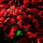 Red Leaf Maple (De-Shaw-Zhou) :出猩々(デショウジョウ) thumbnail