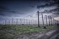 Hop Twines (G Srubas) Tags: hops hop farm hdr night sky detail contrast dingy field gravel cradle grave gabbypike