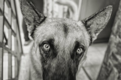 Kinay is ready for his closeup (Michael Evans) Tags: michaelevansphotography fujifilm fujifilmxe2 xe2 photography photo photograph foto fotografia blackandwhite bw blackwhite monochromatic monochrome grayscale dog puppy pup perro germanshepard colombia libano tolima animal pet mascota fujifilmcolombia home housecasa inside indoors texture eyes intimidation intimidating scary frightening danger dangerous