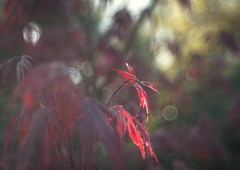 Warm my Heart, it's cold outside (ursulamller900) Tags: bokeh trioplan2950 maple ahorn red leaves