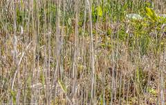 9Q6A5141 (2) (Alinbidford) Tags: alinbidford alancurtis brandonmarsh greyheron greylaggoose snipe moorhen yellowwagtail