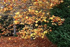 IMG_3170a (ManFromOz) Tags: ©geoffsmith gemaxphotographics autumn blackheath bluemountains autumnleaves