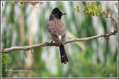6843 - redvented bulbul (chandrasekaran a 40 lakhs views Thanks to all) Tags: redventedbulbul bulbul birds nature india chennai sholinganallur marsh wetlands canon powershotsx60hs