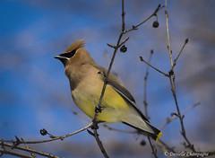 Jaseur d'Amérique / Cedar Waxwing DBC_1476w (Danielle Champagne) Tags: jaseurdamérique cedarwaxwing nature montréal oiseaux birds parcangrignon angrignonpark daniellechampagne