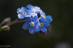 Forget-me-not (Yorkey&Rin) Tags: 2017 4月 april em5 flower forgetmenot inmygarden japan kanagawa kawasaki macro olympusm60mmf28macro rin spring u4145524 マクロ ワスレナグサ 春 庭 勿忘草