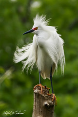 Snowy Egret In High-Breeding Plumage_20A9274 (Alfred J. Lockwood Photography) Tags: alfredjlockwood nature wildlife bird snowyegret breedingplumage rookery dallas texas spring morning overcast