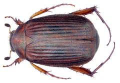 Gastroserica dembickyi Ahrens, 2000 (urjsa) Tags: coleoptera käfer beetle insect scarabaeidae gastroserica dembickyi gastrosericadembickyi vietnam taxonomy:binomial=gastrosericadembickyi taxonomy:order=coleoptera taxonomy:family=scarabaeidae taxonomy:genus=gastroserica taxonomy:species=dembickyi geo:country=vietnam insekt südostasien southeastasia coleopteraus scarabeidae sericini kaefer