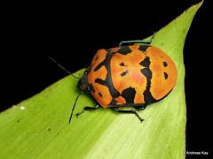 Shield-backed bug, Pachycoris torridus, Scutelleridae (Ecuador Megadiverso) Tags: andreaskay ecuador hemiptera jewelbug metallicshieldbug pachycoristorridus pentatomoidea pentatomomorpha scutelleridae shieldbackedbug truebug