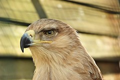 Tawny Eagle (Bogger3.) Tags: tawnyeagle allerford exmoornationalpark somerset canon600d canon18x135lens coth coth5