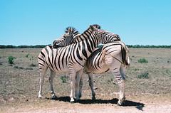 A little hug (Nemo_2016) Tags: meinfilmlab wwwmeinfilmlabde southafrica zebras animals love hugging addo addonationalpark africa film analog analogue argentique wildlife olympus om2 zuiko zuiko50mm18 nature animalbehaviour