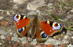 Peacock butterfly - Dagpauwoog (joeke pieters) Tags: 1330752 panasonicdmcfz150 dagpauwoog aglaisio peacock butterfly tagpfauenauge paondujour vlinder schmetterling papillon insect platinumheartaward ngc npc