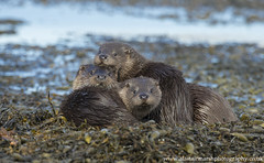 Otters (Alastair Marsh Photography) Tags: otter otters isleofmull mull isle island islands scotland scottishwildlife scottishmammal scottishmammals scottishhighlands marinemammal marinemammals mammal mammals babymammal baby ottercub ottercubs seaweed ocean water sea loch family otterfamily fur wildlife animal animals animalsintheirlandscape britishwildlife britishanimals britishanimal britishmammals britishmammal ngc