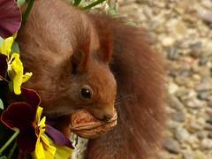 Hungry squirrel (Christa_P) Tags: animal wildanimals tier squirrel eichhörnchen outdoor