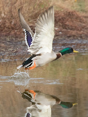 Mallard Duck 4-5-2017-6 (Scott Alan McClurg) Tags: aplatyrhynchos anas anatidae anseriformes flickr bird blue duck flap flapping flickrbirds flight fly flying life mallard migrate nature neighborhood sky spring waterfowl wild wildlife delaware