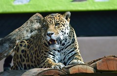 Jaguar resting (castorssito) Tags: felino feline zoo nikon nikond3200 bigcats zoologico close felinos