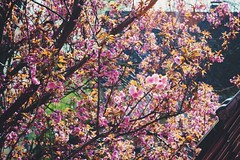 Kirschbaum Cherry Blossom 🌸 (Christian Passi - Steher82) Tags: vsco f2 flickr kirschbaumblüten cherry blossom pflanze blüte outdoor baum kirschblüte blume flower 50mm germany tree tress spring frühling springs springtime love roof dach sun 桜 sony a6000