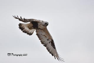 Rough-legged Hawk DSC_2365