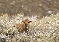 I need playmates! (Patty Bauchman) Tags: bison bisoncalf bisonnewborn yellowstonenationalpark wildlife baby nature