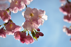 Finally (James_D_Images) Tags: cherry blossoms vancouver britishcolumbia flower tree blossom pink backlit bokeh blue sky