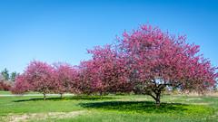 Grove of pink redbud trees and their ephemeral blossoms (sniggie) Tags: cerciscanadensis kentucky redbud redbudblossom bernheimforest tree spring blossom pink cmwdpink